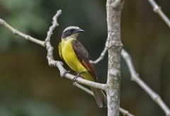 Cuenca del río Guatiquia (jhonfredyravesalazar) Tags: birds aves avistamiento colombia meta villavicencio guatiquia nikon sigma