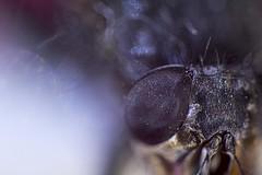 fly (natoilventitremarzo) Tags: mosca macro horror paura terrore fly parti color rosso colore colored insetto particolare