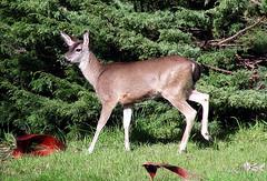 Deer (TJ Gehling) Tags: mammal cervidae deer blacktaileddeer odocileushemionus doe odocoileus drmp dorothyrosenbergmemorialpark elcerrito