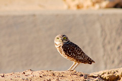 Burrowing Owls (Ed Cheremet) Tags: arizonasunrise burrowingowls genre goodyeararizona landscape moments nature subject sunrise wildlife arizona birds edcheremet edszeremet edszeremetgmailcom httpedcheremetartistwebsitescom me owls phoenixarizona