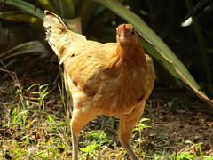 IMG_5791 (belight7) Tags: free range chicken friends neighbors homestay gokarna india south