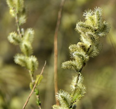 Photo of Willow Blossoms