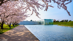 Cherry Blossom at the museum of the Langen Foundation (Germany) (patuffel) Tags: langen foundation neuss cherry blossom reflection museum raketenstation tadao ando art nato base former leica m10 summicron 28mm pond exhibition architecture japanese architect sakura kirschblüte