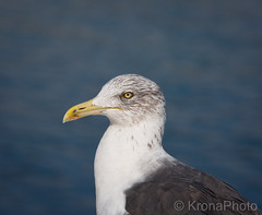 Seagull portrait, Portugal (KronaPhoto) Tags: portugal portrait seagull måke bird fugl macro birdportrait seaside