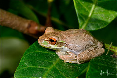 Cuban treefrog (hakoar) Tags: osteopilusseptentrionalis pattern stripes nature cubantreefrog frog red brown climb hylidae florida olivebrown looking leg colorful northamerica tree portrait fauna invasive wildlife closeup green eye amphibia animal gray lines unitedstatesofamerica us