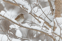 Hermit Thrush-40957.jpg (Mully410 * Images) Tags: birdwatching spring winter hermitthrush thrush birds birding bird backyard birder snow