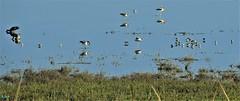 Reflection I,  the Birds (beachpeepsrus) Tags: birds avocet sanderlings