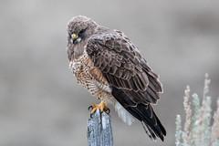 Swainson's Hawk (Gf220warbler) Tags: idaho hawk raptor