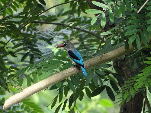 Kingfisher (?)