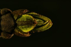 #flowers #bud #colorfull #macrophotography (khuskivadzeketi) Tags: bud flowers macrophotography colorfull