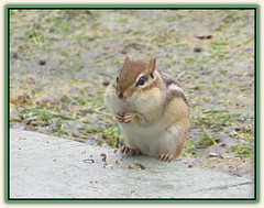 Growing Cheeks (bigbrowneyez) Tags: chipmunk animal cute fun annoying busy working eating birdseeds adorable stripe tiny piccolo piccolino seeds mybackgarden mydeck mygiardino bello bellissimo small furry ottawa canada bokeh soft frame cornice nature natura growingcheeks healthy