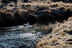 Frosty Swim (Neil Cornwall) Tags: 2019 canada kingsville lakesidepark march millcreek ontario ducks frost sunrise water winter