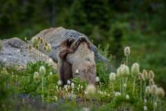 """Dancing Marmots"" (Jeffery D Ross) Tags: nikon d200 mtrainiernationalpark jeffross marmots dancing love green nature joyous happy dslr"