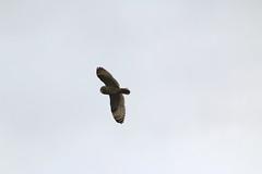 IMG_9805 (monika.carrie) Tags: monikacarrie wildlife seo shortearedowl forvie scotland owl