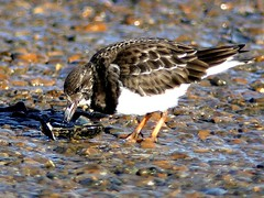 any leftovers 8.1.19 (ericy202) Tags: turnstone mussel shell hard brancaster staithe nationaltrust