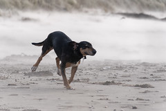 Grace coming through sandstorm (RCB4J) Tags: art ayrshire ayrshirecoast babygrace clydecoast dogs dxo firthofclyde irvinebeach jakob photography playing rcb4j ronniebarron sand scotland sea siameselurcher sony18250mmf3563dtaf sonyilca77m2 trailhound waves sandstorm