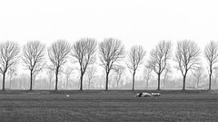 Sheep (Alfred Grupstra) Tags: tree nature ruralscene grass outdoors landscape field winter meadow season farm autumn scenics nonurbanscene animal agriculture blackandwhite pasture sky baretree sheep