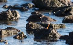 Low Winter Sun. (SteveCrowhurst 2011) Tags: waders birds winter sun tide