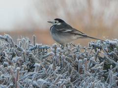 Monday Frost (ART NAHPRO) Tags: pied wagtail frost hedgerow sussex