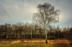 Landscape with a birch (tom.sk) Tags: landscape birch autumn lateautumn november brown cloudy