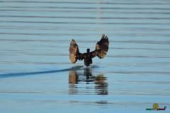 A-LUR_3851 (OrNeSsInA) Tags: aly passignano panicale natura panorami campagma campagna landescape trasimeno nikon canon airone airon cormorano spettacolo birdwatching albero cielo animale mare acqua uccello