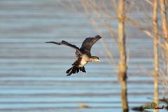 A-LUR_3818 (OrNeSsInA) Tags: aly passignano panicale natura panorami campagma campagna landescape trasimeno nikon canon airone airon cormorano spettacolo birdwatching albero cielo animale mare acqua uccello