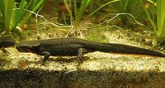 Cynops pyrrhogaster (henk.wallays) Tags: caudata aaaa nature cynopspyrrhogaster amphibia cynops chordata salamandridae year2019 date