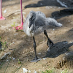 A flamingo chick thumbnail