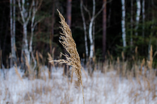 Reeds on a background of gray winter forest