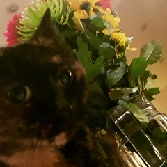 #catoftheday is Penny about to knock over @moley75's birthday flowers (not from me!)