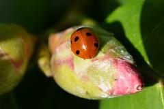 First Seven Spot! (suekelly52) Tags: ladybird ladybug insect plant camelia sevenspotladybird