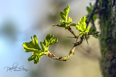 Hawthorn Leaves Unfolding (pollylew) Tags: hawthornleaves spring unfolding