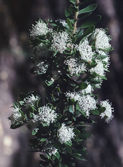 Hakea ruscifolia, Kings Park, Perth, WA, 21/12/94 (Russell Cumming) Tags: plant hakea hakearuscifolia proteaceae kingspark perth westernaustralia