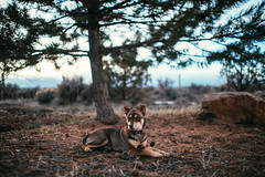 A brown dog (M///S///H) Tags: 35mm lenstagger bokeh canine chew cute dog newmexico pupper puppy stella taos zeisscy35mmf28