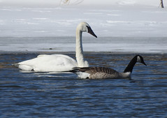 Trumpeter on the Bow (pamfromcalgary) Tags: bird trumpeterswan bowriver carburnpark