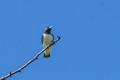 White-breasted Woodswallow © (Rodolfo Quinio) Tags: whitebreastedwoodswallow nikond500 nikonafs500mmf4gedvr nikontc14eii gitzogt3540ls wimberleywh200 swallow bird nature wildlife alabangcountryclub muntinlupacity philippines 115