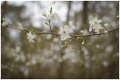 White Cherry Blossoms (*Chris874*) Tags: cherry blossom blüte kirsch pflanze plant baum tree forest wald