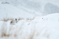 Mountain Hare (lepus timidus) (Karen Miller Photography) Tags: animal behaviour blizzard habitat hare lepustimidus mammal mountain mountainhare snow snowing winter