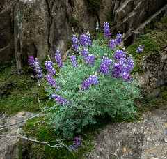 Bush Lupine 2894 (Morning Star Images_Mike Schumacher) Tags: wildflowers lupine