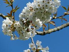 Wild Cherry Tree (Marit Buelens) Tags: nature sky blue flower cherry blossom bloom flowering tree kerselaar branch twig tak garden spring lente belgium belgië flanders vlaanderen