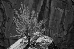 Root Power (arbyreed) Tags: arbyreed plant sagebrush rabbitbrush rock sandstone plantsplittingrock roots mesacountycolorado intimatelandscape closeup