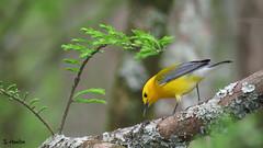 Prothonotary Warbler Finds Breakfast (Suzanham) Tags: songbird cypressswamp cypress yellow prothonotarywarbler warbler noxubeewildliderefuge mississippi nature wildlife small golden