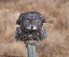 Great Grey Owl preparing for take-off (Archie Richardson) Tags: greatgreyowl alberta 2019