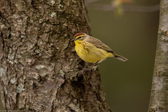 Palm Warbler (grobinette) Tags: palmwarbler yellowpalmwarbler warbler neotropical leesylvaniastatepark explored