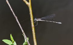 Spreadwings on my Pond (Bonnie Ott) Tags: spreadwing