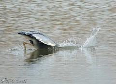 Splash... (Jean-Daniel David) Tags: oiseau oiseaudeau réservenaturelle reflet eau lac lacdeneuchâtel suisse suisseromande vaud nature héron héroncendré grosplan pêche pêcheur