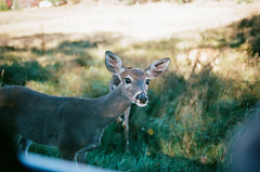 Edit -1-18 (Dane Van) Tags: ccr canadacreekranch deer goodprana doe upnorth michigan puremichigan film analog kodak portra400 canon rebelg eos 500n nature wildlife animals