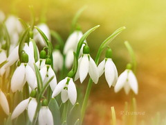Warm winter (R_Ivanova) Tags: nature flower flowers snowdrops winter plant macro garden colors color sony spring outdoor rivanova риванова природа цветя кокиче градина пролет растения цветно макро fav20