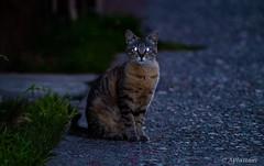 Gato Callejero (pocket.photographs1) Tags: cat cats animal animals animales street eyes gato gatos chile santiago coyhaique patagonia follow canon