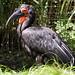 Birmingham Zoo 09-29-2017 - Southern Ground Hornbill 3